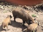 The wildhogs of Rotwildpark.